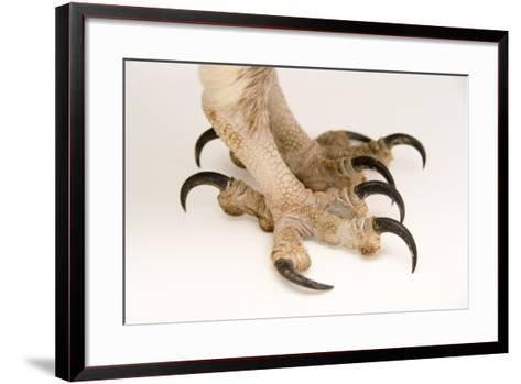 The Feet of an Osprey, Pandion Haliaetus, at Healesville Sanctuary-Joel Sartore-Framed Art Print