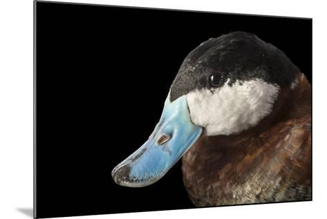 A North American Ruddy Duck, Oxyura Jamaicensis, at Sylvan Heights Bird Park-Joel Sartore-Mounted Photographic Print