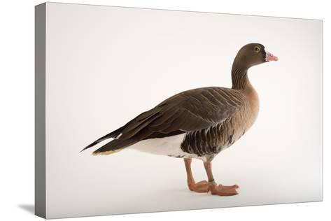 A Lesser White Fronted Goose, Anser Erythropus, at Sylvan Heights Bird Park-Joel Sartore-Stretched Canvas Print