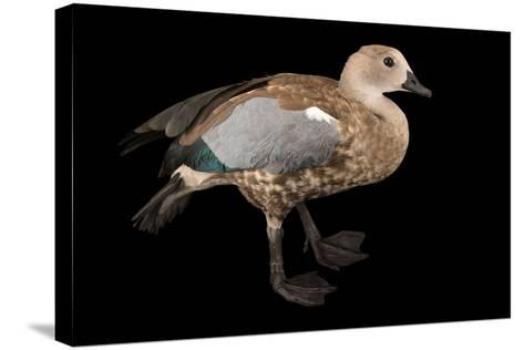 A Male Blue Winged Goose, Cyanochen Cyanoptera, at Sylvan Heights Bird Park-Joel Sartore-Stretched Canvas Print
