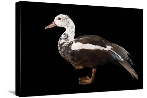 A Male White Winged Duck, Asarcornis Scutulata, at Sylvan Heights Bird Park-Joel Sartore-Stretched Canvas Print
