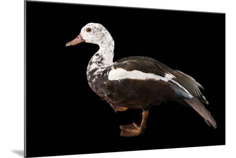 A Male White Winged Duck, Asarcornis Scutulata, at Sylvan Heights Bird Park-Joel Sartore-Mounted Photographic Print