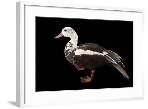 A Male White Winged Duck, Asarcornis Scutulata, at Sylvan Heights Bird Park-Joel Sartore-Framed Art Print