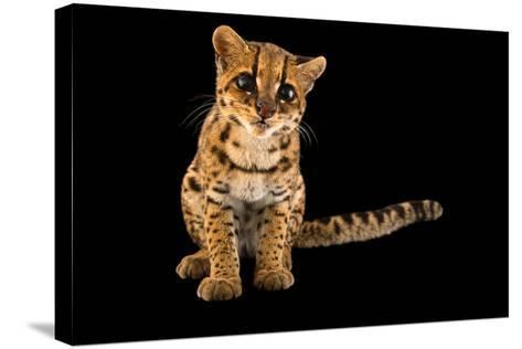 An Oncilla, Leopardus Tigrinus Pardinoides, at Parque Jaime Duque-Joel Sartore-Stretched Canvas Print