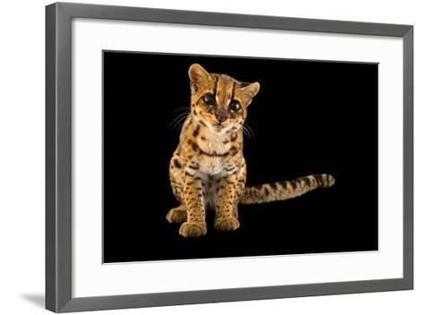 An Oncilla, Leopardus Tigrinus Pardinoides, at Parque Jaime Duque-Joel Sartore-Framed Art Print