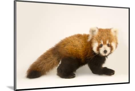 An Endangered Six Month Old Red Panda, Ailurus Fulgens, at the Virginia Zoo-Joel Sartore-Mounted Photographic Print