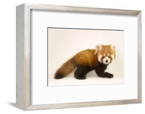 An Endangered Six Month Old Red Panda, Ailurus Fulgens, at the Virginia Zoo-Joel Sartore-Framed Art Print