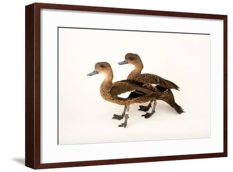 East Indian Grey Teal Ducks, Anas Gibberifrons, at Sylvan Heights Bird Park-Joel Sartore-Framed Art Print