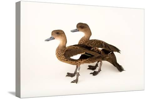 East Indian Grey Teal Ducks, Anas Gibberifrons, at Sylvan Heights Bird Park-Joel Sartore-Stretched Canvas Print