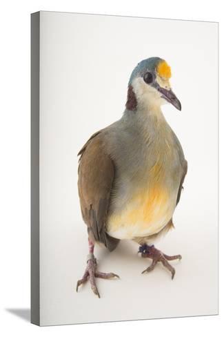 A Yellow-Breasted Ground-Dove, Gallicolumba Tristigmata, at the Houston Zoo-Joel Sartore-Stretched Canvas Print