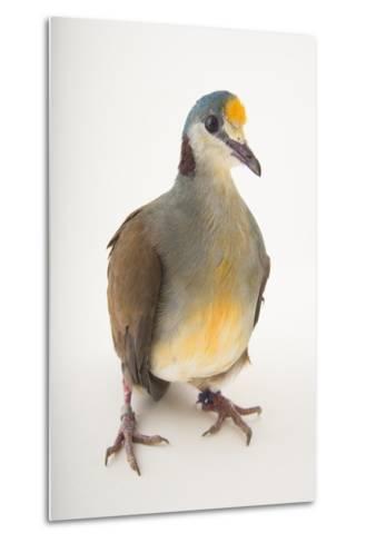 A Yellow-Breasted Ground-Dove, Gallicolumba Tristigmata, at the Houston Zoo-Joel Sartore-Metal Print