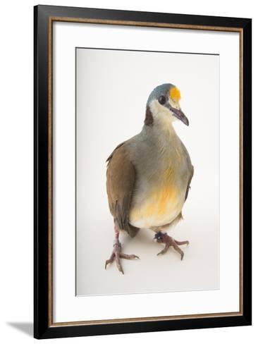 A Yellow-Breasted Ground-Dove, Gallicolumba Tristigmata, at the Houston Zoo-Joel Sartore-Framed Art Print