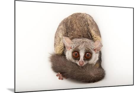A Mohol Bushbaby, Galago Moholi, at the Cleveland Metroparks Zoo-Joel Sartore-Mounted Photographic Print