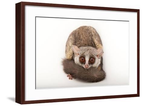 A Mohol Bushbaby, Galago Moholi, at the Cleveland Metroparks Zoo-Joel Sartore-Framed Art Print