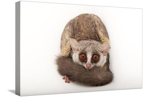 A Mohol Bushbaby, Galago Moholi, at the Cleveland Metroparks Zoo-Joel Sartore-Stretched Canvas Print