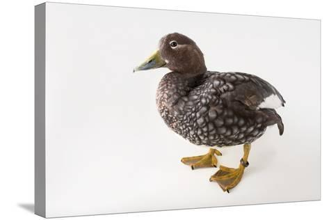 A Flying Steamer Duck, Tachyeres Patachonicus, at Sylvan Heights Bird Park-Joel Sartore-Stretched Canvas Print