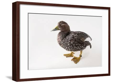 A Flying Steamer Duck, Tachyeres Patachonicus, at Sylvan Heights Bird Park-Joel Sartore-Framed Art Print