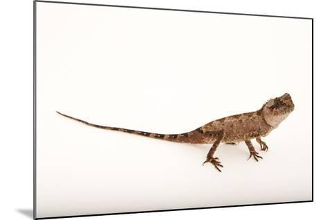 An Armored Pricknape, Acanthosaura Armata, at the Cleveland Metroparks Zoo-Joel Sartore-Mounted Photographic Print