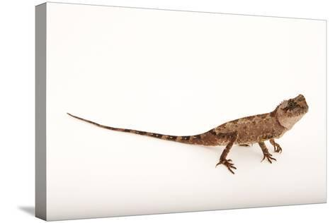 An Armored Pricknape, Acanthosaura Armata, at the Cleveland Metroparks Zoo-Joel Sartore-Stretched Canvas Print