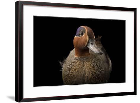 A Eurasian Green Winged Teal, Anas Crecca, at the Sylvan Heights Bird Park-Joel Sartore-Framed Art Print