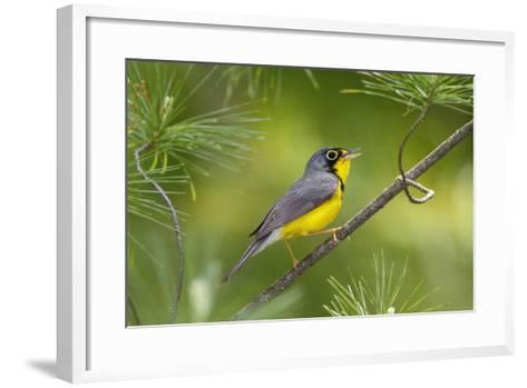 The Canada Warbler, Cardinella Canadensis, Perching on the Branch of a Tree-George Grall-Framed Art Print