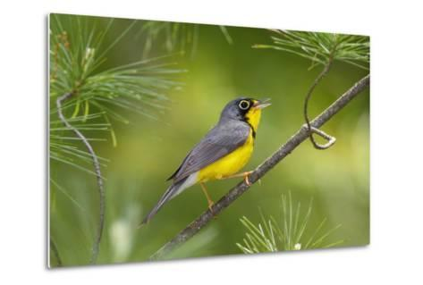 The Canada Warbler, Cardinella Canadensis, Perching on the Branch of a Tree-George Grall-Metal Print