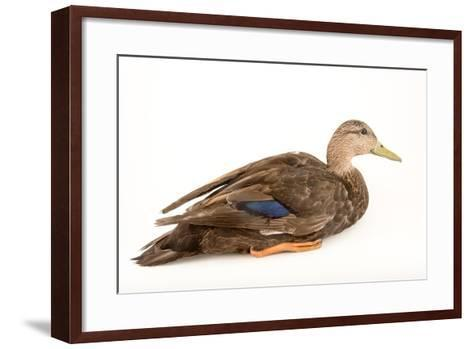 A Male American Black Duck, Anas Rubripes, at the Sylvan Heights Bird Park-Joel Sartore-Framed Art Print