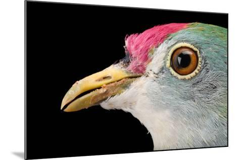 A Beautiful Fruit Dove, Ptilinopus Pulchellus, at the Sedgwick County Zoo-Joel Sartore-Mounted Photographic Print
