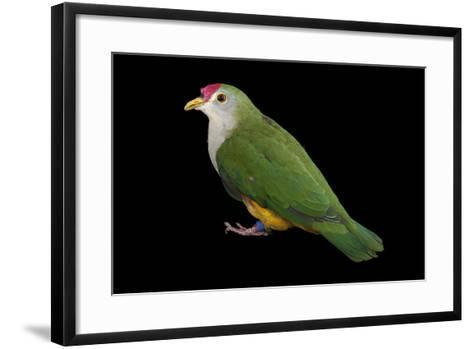 A Beautiful Fruit Dove, Ptilinopus Pulchellus, at the Sedgwick County Zoo-Joel Sartore-Framed Art Print