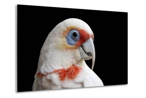 A Long Billed Corella, Cacatua Tenuirostris, at the Healesville Sanctuary-Joel Sartore-Metal Print
