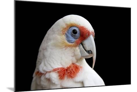A Long Billed Corella, Cacatua Tenuirostris, at the Healesville Sanctuary-Joel Sartore-Mounted Photographic Print