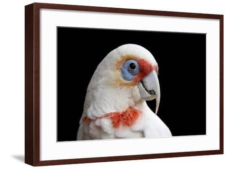 A Long Billed Corella, Cacatua Tenuirostris, at the Healesville Sanctuary-Joel Sartore-Framed Art Print