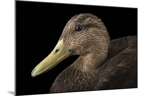 A Male American Black Duck, Anas Rubripes, at the Sylvan Heights Bird Park-Joel Sartore-Mounted Photographic Print