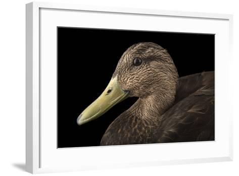 A Male American Black Duck, Anas Rubripes, at the Sylvan Heights Bird Park-Joel Sartore-Framed Art Print