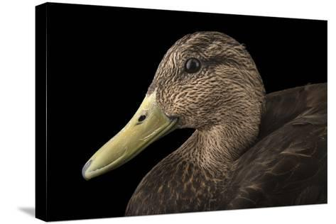 A Male American Black Duck, Anas Rubripes, at the Sylvan Heights Bird Park-Joel Sartore-Stretched Canvas Print