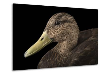 A Male American Black Duck, Anas Rubripes, at the Sylvan Heights Bird Park-Joel Sartore-Metal Print