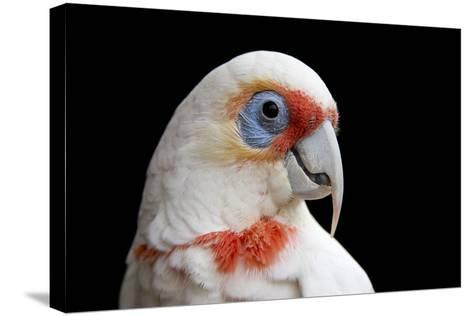 A Long Billed Corella, Cacatua Tenuirostris, at the Healesville Sanctuary-Joel Sartore-Stretched Canvas Print