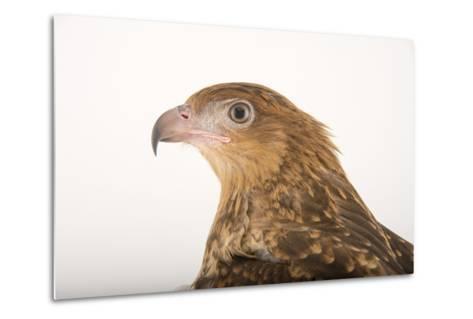 A Whistling Kite, Haliastur Sphenurus, at Healesville Sanctuary-Joel Sartore-Metal Print