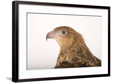 A Whistling Kite, Haliastur Sphenurus, at Healesville Sanctuary-Joel Sartore-Framed Art Print