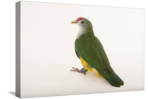 A Beautiful Fruit Dove, Ptilinopus Pulchellus, at the Sedgwick County Zoo-Joel Sartore-Stretched Canvas Print