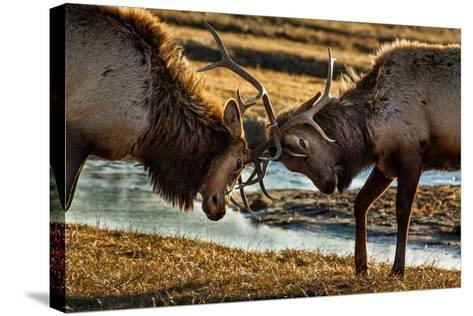 A Pair of Elk Battle in the 24,700-Acre National Elk Refuge Near Jackson, Wyoming-Charlie James-Stretched Canvas Print
