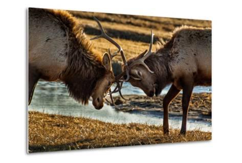 A Pair of Elk Battle in the 24,700-Acre National Elk Refuge Near Jackson, Wyoming-Charlie James-Metal Print