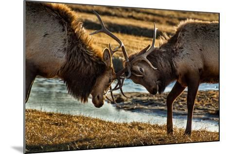 A Pair of Elk Battle in the 24,700-Acre National Elk Refuge Near Jackson, Wyoming-Charlie James-Mounted Photographic Print