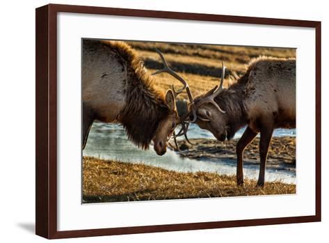A Pair of Elk Battle in the 24,700-Acre National Elk Refuge Near Jackson, Wyoming-Charlie James-Framed Art Print