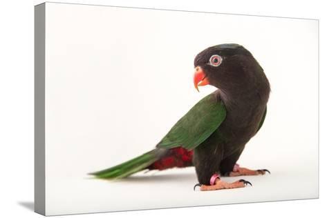 Papuan Lorikeet, Charmosyna Papou, at Sylvan Heights Bird Park-Joel Sartore-Stretched Canvas Print