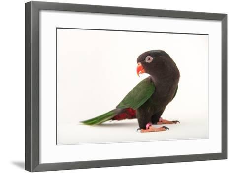 Papuan Lorikeet, Charmosyna Papou, at Sylvan Heights Bird Park-Joel Sartore-Framed Art Print