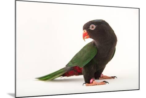 Papuan Lorikeet, Charmosyna Papou, at Sylvan Heights Bird Park-Joel Sartore-Mounted Photographic Print