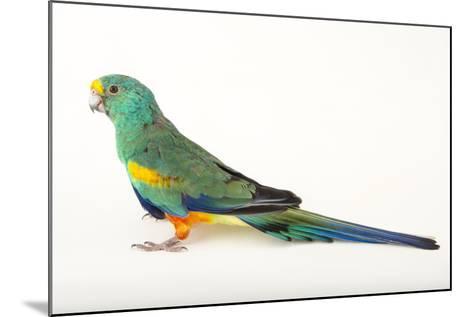 A Mulga Parrot, Psephotus Varius, at Sylvan Heights Bird Park-Joel Sartore-Mounted Photographic Print