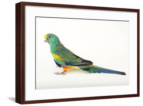 A Mulga Parrot, Psephotus Varius, at Sylvan Heights Bird Park-Joel Sartore-Framed Art Print