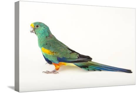 A Mulga Parrot, Psephotus Varius, at Sylvan Heights Bird Park-Joel Sartore-Stretched Canvas Print